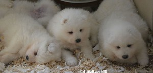 Samoyed Puppies for sale in Lincoln - Lincolnshire