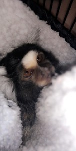 18 month old marmoset monkey