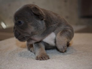 Blue & Tan KC Registered French Bulldog Puppies For Sale
