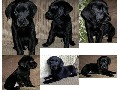 READY NOW! Black Labrador puppy KC Registered