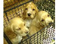 Cocker Spaniel Puppies Golden/Cream