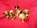 Jack Russell puppies minature tupe