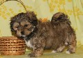 Male Lhasa Apso puppy for sale