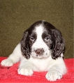 K.C. registered English Springer Spaniel Puppies for sale