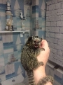 baby marmoset monkey for rehome