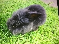 Baby Rabbit Lionhead 10 weeks old for sale