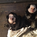 troop of 3 geoffroys marmosets
