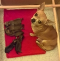 Pedigree Chihuahua Puppies, short and long haired, ready January