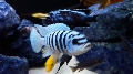 AFRICAN MALAWI CICHLIDS (MBUNA) FORSALE BY HOBBY BREEDER.