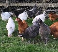 Gorgeous Point of Lay Hybrid Hens