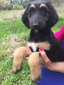 Afghan Hound (FCI) puppies for sale