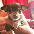 4 chihuahua pups for sale.2 chocolate males & 2 choc fawn females