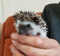 Pigmy hedghog 10 weeks old