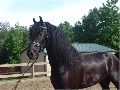 Sweet Friesian Dressage Gelding For Sale