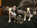 MERLE FRENCH BULLDOGS