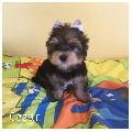 Beautiful Yorkshire Terrier puppies for sale. Ready now