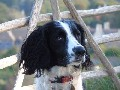 KC registered English springer spaniel stud dog
