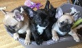 French Bulldog puppies Kennel Club registered. Excellent tempera