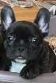 French Bulldog puppies Kennel Club registered. REDUCED