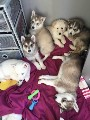 Northern Inuit Cross Siberian Husky Puppies