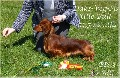 Miniature Longhair Dachshund for dtud