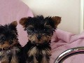 WANTED full breed Yorkshire terrier puppy girl