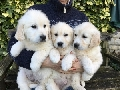 Lovely Golden Retriever puppies for adoptions