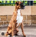 HUGE BOBTAIL BOXER STUD CHAMPION BLOODLINE