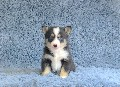 Pomsky puppies for sale www.bartlettsbullys.com
