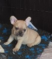 French Bulldog puppies, chunky and true to breed