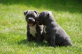 Staffordshire Blue Terrier Puppies For Sale