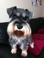 stunning kc miniature schnauzer available for stud * proven