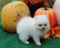 Adorable Pomeranian Puppies