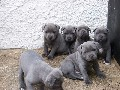 beautiful blue Staffy pups, four boys and three girls available f