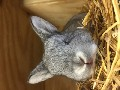 Lop Ear Baby Bunnies For Sale