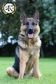 Protection dogs for sale UK