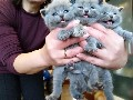We have available 5 blue British Shorthair kittens