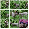 Beautiful Devon Rex kittens ready now