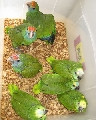 Get Extensive Variety of Amazon Parrots for Sale