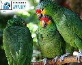 Amazon Parrots for Sale and They Are Amazing