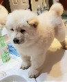 Gorgeous Chow Chow Puppies