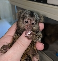 Capuchin, marmoset, squirrel, tamarin, lemur, owl, macaque and spider monkeys for sale