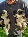 Tricolour Border Collie Puppies For Sale