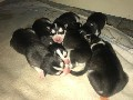 Siberian husky puppies 5 girls 1 boy
