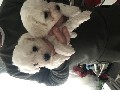 2bichon frise boy puppies