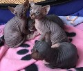 Two Young Sphynx Kittens for sale