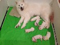 Top quality Samoyed puppies Girls & Boys ready.