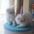 Pad trained pure white Persian kittens