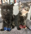 Beautiful Maine coon cross kittens