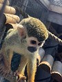 Young female squirrel monkey samiri